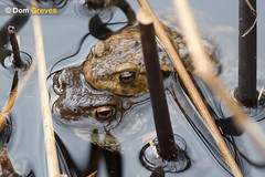 Toad Embrace (Dom Greves) Tags: uk woodland march spring wildlife amphibian dorset mating spawning wetland bufobufo behaviour sexualreproduction commontoad amplexus