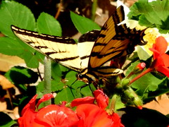 A Tiger Swallowtail, but which one? (pawightm (Patricia)) Tags: austin texas inmygarden centraltexas easterntigerswallowtailpapilioglaucus marchblooms tigerswallowtailbutterfly largebutterfly latemarch needpositiveid pawightm appalachiantigerswallowtailpapilioappalachiensis rscn6751 hybridswallowtailbutterfly
