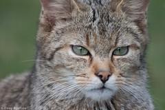 Wilde kat (Elroy Spelbos) Tags: portrait animal cat kat wildcat portret dier wildpark animalportrait felissilvestris wildekat greatphotographers anholterschweiz