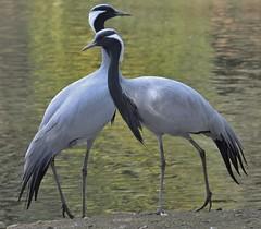 Demoiselle Cranes (Michael G.H.) Tags: nature birds crane wildlife cranes demoiselle mygearandme