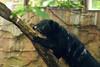 Binturong taken at Exmoor Zoo - May 28, 2012 - Photo 6918.jpg (atthezoouk) Tags: camera unitedkingdom devon zoos binturong asianbearcat zooanimals cameralens tamron70300mm brattonfleming animalphotos exmoorzoo cutecreatures asiananimals canoneosrebelt1i