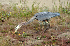 Great Blue Heron - attacks (Howard_Pulling) Tags: sf sanfrancisco california camera morning blue usa bird heron birds america photo nikon great hunting picture ardea american goldengate prey sa greatblueheron herons herodias ardeaherodias hpulling howardpulling d5100 nikond5100