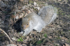 Grey Squirel (Salopian07) Tags: morning mammal rodent countryside morninglight squirel greysquirel