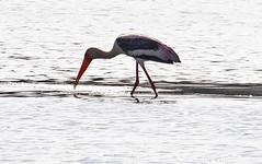 Th13_05255a (jerryoldenettel) Tags: bird thailand stork paintedstork ciconiiformes mycterialeucocephala mycteria 2013 ciconiidae bangtaboon bangtaboonmarshes