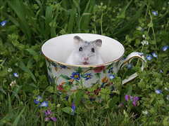 No more tea (Dragan*) Tags: flowers white plant cup nature colors field grass animal spring hamster getty teacup kalemegdan tzakana
