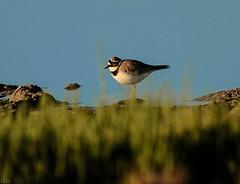 Pajarito (ibzsierra) Tags: bird canon salinas ibiza ave 7d pajaro eivissa oiseau baleares naturalpark parquenatural blinkagain saltwoek