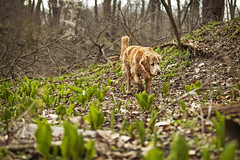 Skunk - 15/52 (miss_n_arrow) Tags: dog dogs creek project for golden spring kirby walk canine retriever weeks skunk 52 cabbages 52weeksfordogs