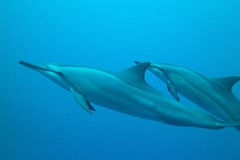 joy in the morning (BarryFackler) Tags: ocean life sea nature water ecology animal coral fauna mammal island hawaii polynesia marine underwater pacific being dive scuba diving sealife pacificocean dolphins tropical marinebiology diver bigisland aquatic reef creature biology undersea kona naia ecosystem coralreef marinelife vertebrate zoology seacreature spinnerdolphins marinemammals marineecology cetaceans honaunau konacoast odontoceti hawaiicounty southkona hawaiiisland 2013 honaunaubay stenellalongirostris marineecosystem westhawaii hawaiianspinnerdolphins bigislanddiving hawaiidiving slongirostris sealifecamera barryfackler barronfackler
