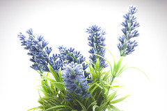 lavender 95/365 (photography.andreas) Tags: plants garden whitebackground onwhite day95 lavendel productphotography project365 produktfotografie 05apr13 blumenundpflanzen thelavender day95365 3652013 365the2013edition