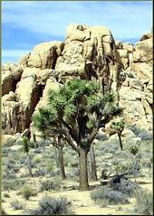 Joshua Tree, Joshua Tree NP 4-13-13 (inkknife_2000 (6 million views +)) Tags: mountains sand rocks joshuatree blooms rockclimbing lizards yucca joshuatreenationalpark desertplants rockpiles dgrahamphoto