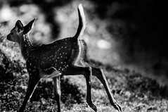 Cheetal cub (mechstar) Tags: bw white black art nikon wildlife young sigma run deer f45 safari spotted 500mm gupta sandip cheetal bandipur
