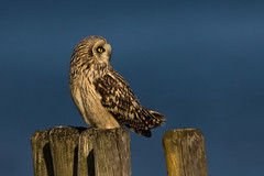 Short-Eared Owl @ sunset, the Netherlands. (Richard Verroen) Tags: sunset bird netherlands birds zonsondergang nederland thenetherlands vogels owl owls birdofprey vogel asio strigiformes uil shortearedowl asioflammeus roofvogels uilen flammeus velduil verroen richardverroen
