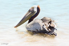Afternoon Swim (Jenny Onsager) Tags: gulfofmexico nature birds canon florida pelican tropicalbirds afternoonswim mygearandme mygearandmepremium mygearandmebronze mygearandmesilver mygearandmegold mygearandmeplatinum mygearandmediamond rememberthatmomentlevel1 jennyonsager marcoislandbirds