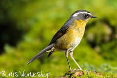 White-browed Bush-Robin (BorisWorkshop (130k+ views, thanks)) Tags: taiwan supershot taichungcity whitebrowedbushrobin mygearandme mygearandmepremium 5wonderwall rememberthatmomentlevel1 sunrays5 rememberthatmomentlevel2 dasyueshantrail