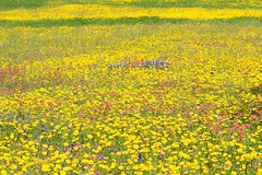 Texas wildflowers at Guadalupe County (steven..ng) Tags: church creek texas christ bluebonnet wildflowers lutheran elm phlox springwildflowers churchroad basketflower indianpainbrush groundse d300s crowntickseed nikkor70200mmf28gvrii