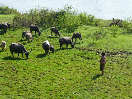 A women tending water Buffaloes in  Southern Laos. Photo by Jharendu Pant, 2012.