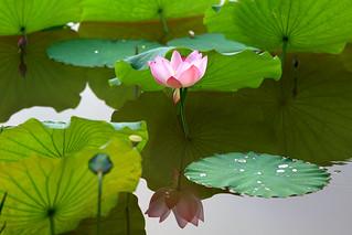 lotus&umbrella