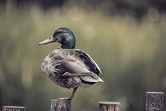 Mallard Duck (Y*Y Photography) Tags: wild bird nature field composition one soft dof natural bokeh wildlife leg mallard hybrid depth