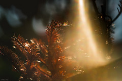 Ray of light (Daniel A Ruiz) Tags: nikon real df 135mmf2dc defocus control r2 shimmer pine tree dry summer bokeh buttery project365