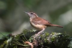 Carolina Wren (PeterBrannon) Tags: bird carolinawren florida immature lettucelake nature shadows songbird tampa thryothorusludovicianus wildlife wren young spotlight