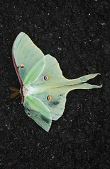 LUNA MOTH (Actias luna), in Staten Island, New York, USA. July, 2016 (Tom Turner - SeaTeamImages / AirTeamImages) Tags: moth lunamoth actiasluna nature wildlife insect winged green limegreen tomturner statenisland newyork nyc bigapple usa unitedstates wings