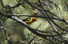Western Tanager (Glaucous Gull) Tags: westerntanager carson