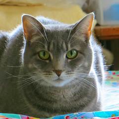 Millie 17 August 2016 0712Ri sq (edgarandron - Busy!) Tags: cat kitty kitties tabby tabbies cute feline millie graytabby happycaturday