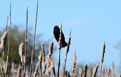 Red-Winged Blackbird (careth@2012) Tags: blackbird nature wildlife beak redwingedblackbird