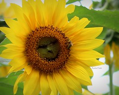 Like what you see bee? (Kindred Souls) Tags: sunflowers sunflowerfarm landscape petals stem leaves bees insects yellow greenred orange sky clouds sunrise sunset honey family families hayride grass trees flowers wildflowers barn fence maze birds red white blue nature dog cat summer lake pond stream rocks people pastel water flying wings yellowjacket wasp ants dust dirt sod greybarn redbarn beach marsh saltmarsh wildlife fauna flora