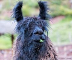 Bad-Hair-Day Llama (cheryl strahl) Tags: peru sacredvalleyoftheincas camelids awanakancha cultural textile llama munching wildlooking andrean wool hilarious