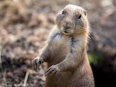 Prairie Dog (Martijn Bergsma) Tags: dog zoo rotterdam prairie dierentuin blijdorp prairiedog diergaarde prairiehond