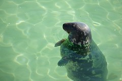 Grey Seal (Future-Echoes) Tags: 2015 animal coast cornwall greyseal rest sea seal stives sunbathing water