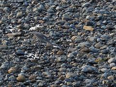 Grey heron () (Greg Peterson in Japan) Tags: yasugawa wildlife rivers birds japan shiga egretsandherons deba ritto shigaprefecture jpn
