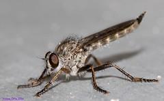 K46A6989wz (Yvonne23021984) Tags: makro marco makrofotografie photography marcrophotography insects insekten fliege fly closeup nahaufnahme nahaufnahmen canon canoneos7dmarkii canonphotography