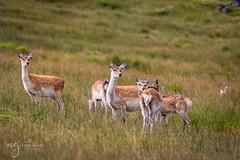 deer family at Glendalough National Park (Pastel Frames Photography) Tags: glendaloughwicklow national park walk trial deer animals mammals nature ireland outdoors