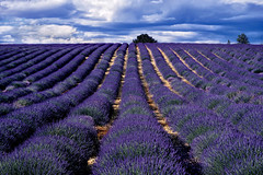 Lavender Fields (Don Csar) Tags: valensole provence france francia europa europe lines rows purples blue sky hill surcos classic tourism turismo summer