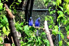 Hyacinth Macaw (maiklopes) Tags: argentina temaikèn temaiken escobar zoo nature natureza naturaleza animals animal bird pássaro ave pájaro blue azul macaw araraazul arara