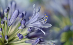 tooting its own horn :) (Noel Leone--my reality in and out of focus) Tags: blues soft buds flower agapanthus blossom bokeh summer garden purple showingoff