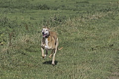 Happy To Be Running Again (me'nthedogs) Tags: ruben lurcher longdog running river parrett oathlock somerset levels