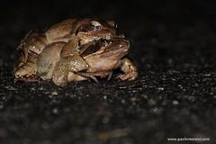 Agile frog (Rana dalmatina)  -  www.paolomeroni.com (www.paolomeroni.com) Tags: ranadalmatina ranaagile agilefrog iucn nikonflickraward ngc wwwpaolomeronicom paolomeroni amphibia lombardia lombardy italy italia wildlifephotography wildschwein wild rana wet reproduction sex accoppiamento road rain coupling night notte