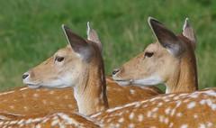 Fallow Deer 170816 (1) (Richard Collier - Wildlife and Travel Photography) Tags: wildlife naturalhistory british deer fallowdeer mammals