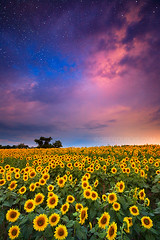 Colby Farm Sunflower Field with Sunrise and Stars, Newbury Massachusetts (Greg DuBois - Sponsored by LEE Filters) Tags: gregdubois colbyfarm sunflowerfield sunrise stars night sky nightscape newbury newburyport massachusetts northshore scotlandroad newengland leefilters eastcoast sunflowers flowers flower field farm horizon landscape flowerscape nature dramatic dreamscape surreal clouds cloudy yellow green pink blue colorful vibrant wideangle canon 6d dark moody photo photos stock photography photographer wallart