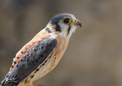 American Kestrel  |  Buntfalke (abritinquint Natural Photography) Tags: bird vogel natural wildlife nature wild nikon d750 telephoto 300mm pf f4 300mmf4 300f4 nikkor teleconverter tc17eii pfedvr germany 50mm buntfalke kestrel americankestrel