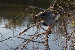 Great Blue Heron STRETCH (jcldigitalstudio.com) Tags: ardea herodias water natural bird aquatic serene graceful unsual tree branch branches pose action behavior