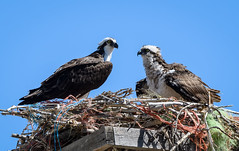 Come On You Can Do It! (Frank Coster) Tags: bird nest 2016 challisidaho fledgling osprey