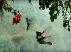 humminbird spots a flower (Clouvux) Tags: wildlife trees tree bird bokeh birds nature animal blur treebranch