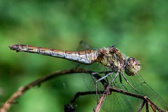 Power and Poise , #Dragonfly , #contrast , #Photography , #Nature , #outdoor , #insect , #color , #Light , #composition , #Wings , #Photographer , #fauna , #Macro , #closeup , #upclose , #Wildlife , #mothernature , #delicate , #Sunshine , #beautiful , #sp (jwzw@ymail.com) Tags: power poise dragonfly contrast photography nature outdoor insect color light composition wings photographer fauna macro closeup upclose wildlife mothernature delicate sunshine beautiful splendid bokeh photoart summer wanderlust invertebrates bug perspective elegant exposure