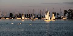 Sails at Sunset (Jenny Pics) Tags: sailboats sails swans water sunset lighting masts whitby ontario canada