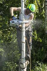 cut a tree (cih94) Tags: a6000 canon 70200 f28 work tree chainsaw cut green birch stihl climbing working shavings garden