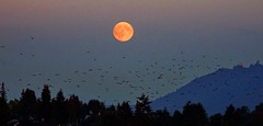 Almost full moon and a murder of crows at sunset (peggyhr) Tags: peggyhr harvestmoon crows mountains trees dsc01212y vancouver bc canada level1photographyforrecreation thegalaxy frameit~level01~ thegalaxyhalloffame 30faves~ gallery infinitexposurel1 super~sixbronze☆stage1☆ 50faves 60faves~